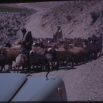 The expedition jeep encounters a flock of sheep. Photo: the Moesgaard Museum archives, 1947-'50