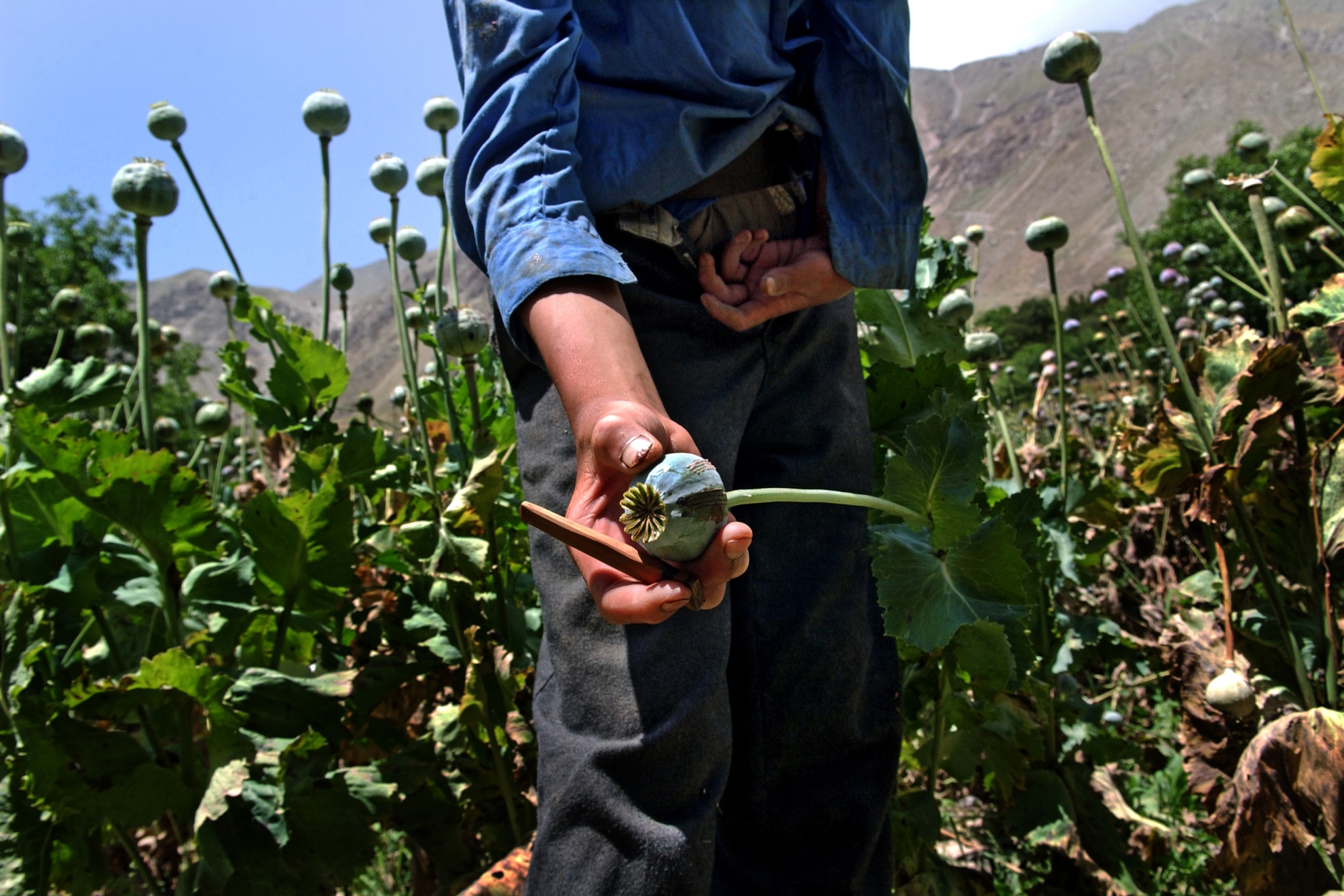 Opium is extracted from the poppy flower. A cut is made in the flower through which the pulp comes out. It is then collected and pressed, and some of it is consumed directly as opium, while some is refined into heroin. The whole process is very labour-intensive, and opium production employs many people in Afghanistan. Photo: UN Photo/UNODC/Zalmai, 2005
