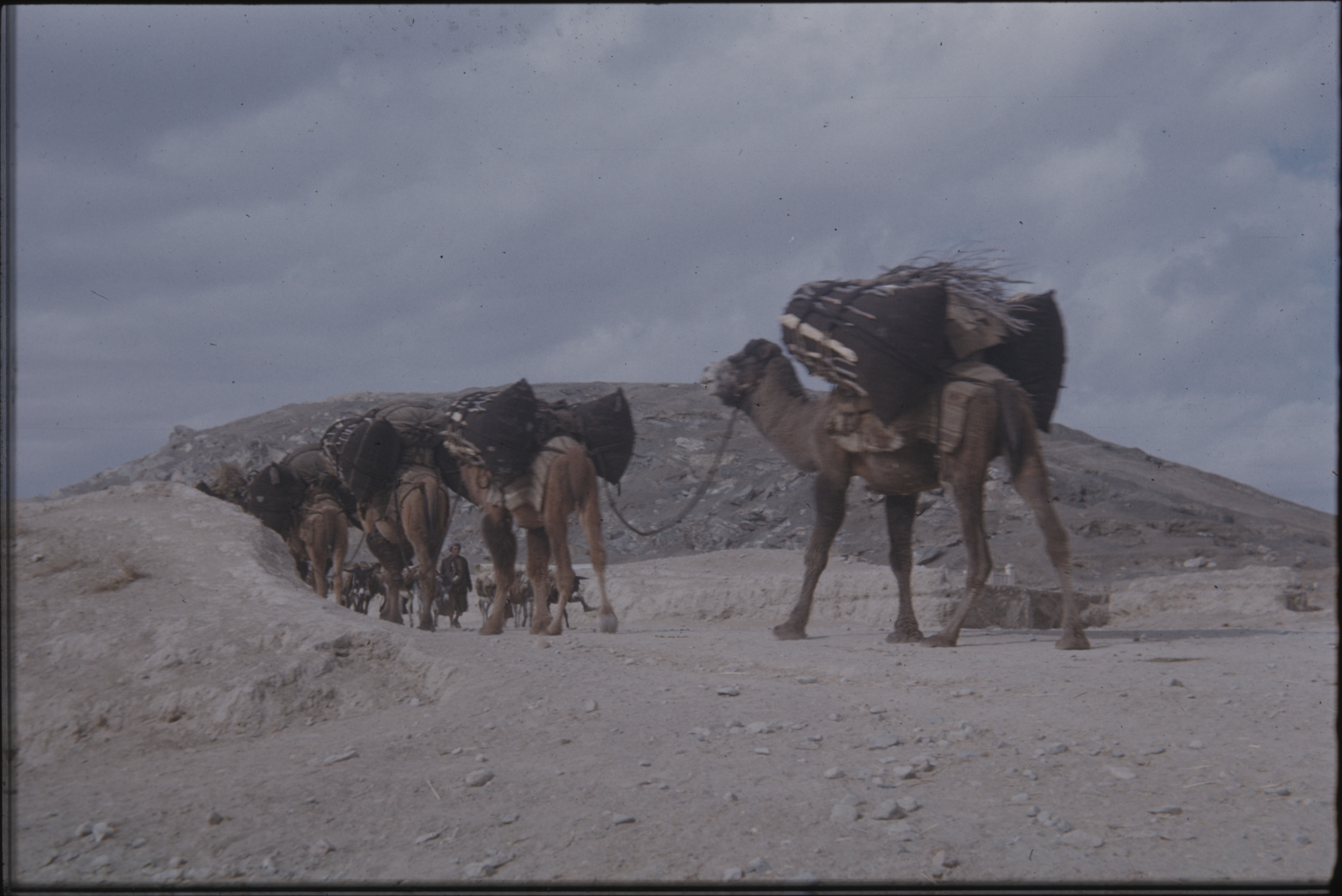Heavily loaded camels. A camel can carry approximately 300 kg. The Henning Haslund-Christensen Memorial Expedition, 1953-'55. Photo: the Moesgaard Museum archives